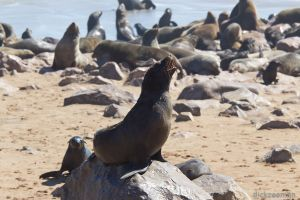 Cape cross - Cape fur seal colony-1