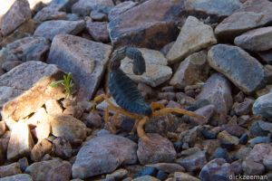 Fish River Canyon - Scorpion