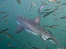 False Bay - Cage dive, great white