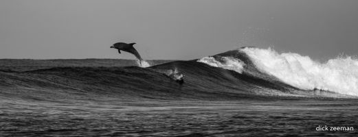 Dolphins surfing