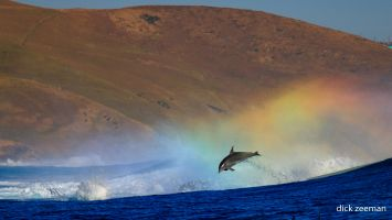 Dolphins in the rainbow