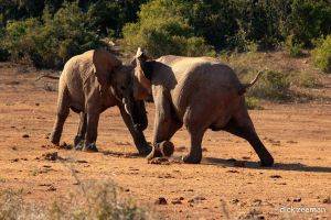 Ellies fighting