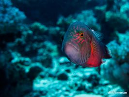 Cheek-lined Wrasse